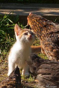 Curious kitty and chickens