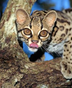 Jungle Cat | Jungle Cat Mimics Monkey to Lure Prey—A First