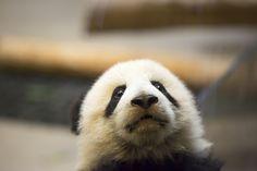 Panda Love, Cute Panda, Panda's Dream, Toronto Zoo, Giant Pandas, Panda Bears, Cute Funny Animals, Exotic Pets, Animals Beautiful
