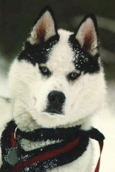 Colors of the Siberian Husky - Tosch - a Piebald Siberian Husky