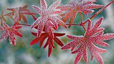 Hoar frost on geranium leaves (© Michael Peuckert/age fotostock)