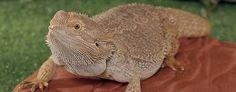 How to Create Ideal Bearded Dragon Habitat