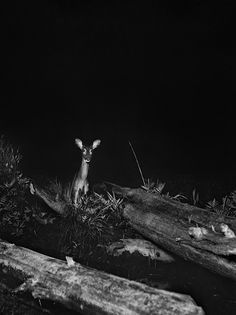 White-tailed doe on the banks of Whitefish River, Lake Superior region, Michigan, date unknownn