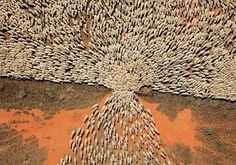 A herd of sheep entering a new paddock