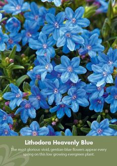 4X 9cm Pot Lithodora Diffusa Heavenly Blue Low Spreading Evergreen Deep Blue Summer Flowers