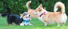 Bearded Collie, Welsh Corgi Pembroke, Corgis, Animals, Puppys, Animales, Animaux, Corgi, Animal