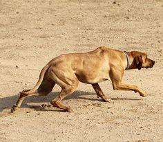 Anyone who's been around a ridgeback long enough must have seen this before... #crouching like a #tiger at the sight of prey in the distance... #projectrr #ridgeback #rhodesianridgeback #rhodesian