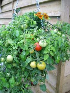 How to Grow Vegetables and Fruit in Hanging Baskets.....  Although more commonly used for effusive displays of annual flowers such as petunias and pelargoniums, a hanging basket dangling from a porch or mounted on a wall makes a fun, attractive container for growing vegetables, herbs or fruit. You don't even need a garden!