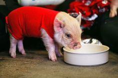 This piglet wearing a red t-shirt. http://ift.tt/2dgPAfF