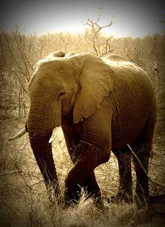 African Elephant, via Flickr.