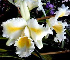 Orquídea Cattleya Esbetts Clown Blumen Insel - Jardim Exótico - O maior portal de mudas do Brasil.