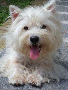 Adorable Fluffy West Highland Terrier Dog