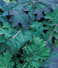 Red Russian Kale for Garden Agriculture, Red Russian Kale, Red Kale, Kale Plant, Growing Veggies, Winter Vegetables, Gardening Tips, Vegetable Gardening, Organic Gardening
