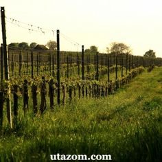 Villány: bor és kerékpártúra - Bringa, Messzi tájak Európa biciklitúra | Utazom.com utazási iroda Bor, Vineyard, Vine Yard, Vineyard Vines