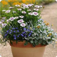 Silver Fox any color, Water Fall Blue Mist Lobelia- mix pink, silver, blue- Blooms all summer- full sun