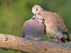 Turtle Dove, Pigeon, Birds, Hot, Nature, Animals, Hunting, Paint, Naturaleza