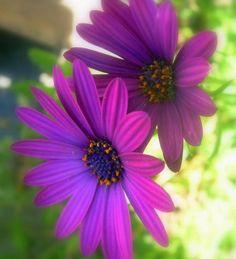 beautiful daisy flowers image.jpg