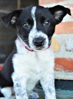 Check out Charlotte *Maddy's Puppy*'s profile on AllPaws.com and help her get adopted! Charlotte *Maddy's Puppy* is an adorable Dog that needs a new home. https://www.allpaws.com/adopt-a-dog/australian-cattle-dog-blue-heeler-mix-border-collie/6365911?social_ref=pinterest