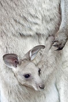 "Kangaroo baby with mom (Since you asked, a baby kangaroo is called a ""joey"")"