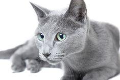 Russian Blue #cat #RussianBlueCat