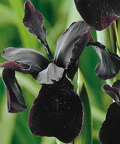Iris Chrysographes - almost black iris - stunning Black Iris, Black And White Flowers, Dark Flowers, Iris Flowers, Planting Flowers, Moon Garden, Dream Garden, Gothic Garden, Midnight Garden