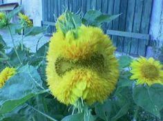 Fiore burbero