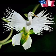 Description : Egret flower is the flower of habenaria radiata, native to North Korea, Taiwan and Japan, is kind of orchid. It have 12 species in planting record. White egret flower is very beautiful, scientific name is habenaria radiata. It has been picked a lot and it's number sharply reduced. It's already belongs to endangered plants, ranked third in the top ten singular plants.   Specification : Germination time : 10-15 days Germination temperature : 15-20℃ Applications : Farm, Roof…