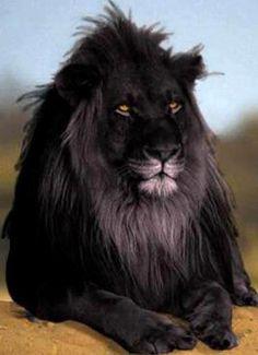 RARE BLACK LION - Pixdaus