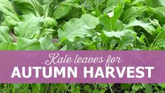 How to sow kale for autumn harvest, baby kale in Polytunnel, tips for growing kale, beginners guide on kale, how to become self-sufficient on less than one acre