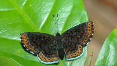 Orange-stitched Metalmark (Chalodeta chaonotis) - Photo by Rudimar Cipriani Moth Species, Butterfly Species, Beautiful Butterflies, Insects, Planet Earth, Amazon, Orange, Life, Butterflies