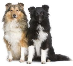 Google Image Result for http://www.yourpurebredpuppy.com/dogbreeds/photos-RS/sheltiesf1.jpg