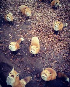 #zaofoxvillage #fox #蔵王キツネ村