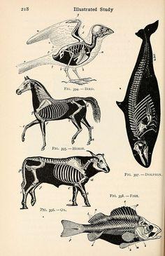 scientific drawing of animal Science Illustration, Medical Illustration, Animal Skeletons, Animal Skulls, Scientific Drawing, Petit Tattoo, Animal Anatomy, Animal Science, Animal Bones