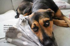 Finland, Husky, Dogs, Animals, Animales, Animaux, Pet Dogs, Doggies, Animal