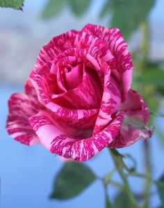 Rare Roses: Autumn Blooms