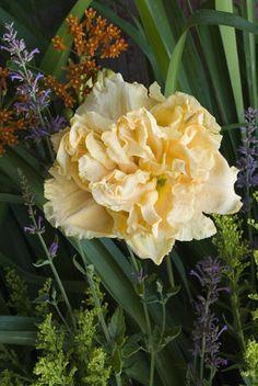 Siloam Peony Display Hemerocallis (Daylily) from Proven Winners