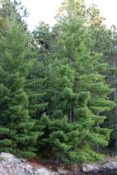 White Pine on Elbow Lake #dan330 http://livedan330.com/2015/08/13/elbow-lake-in-cook-minnesota-go-explore-minnesota/