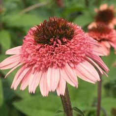 "Online and Retail Garden Center in Zeeland - Michigan - Cone-fections™ 'Raspberry Truffle' Echinacea "" — Coneflower My Flower, Pink Flowers, Beautiful Flowers, Flower Power, My Secret Garden, Dream Garden, Garden Inspiration, Truffles, Garden Plants"