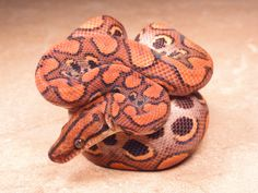 New Brazilian Rainbow Boas for 2011 Reptiles Names, Reptiles And Amphibians, Brazilian Rainbow Boa, Chameleon Lizard, Cool Snakes, Cute Snake, Ball Python, All Gods Creatures, Exotic Pets