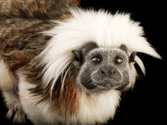 cotton-top tamarins