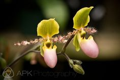 Fuzzy Lady Slipper Orchids