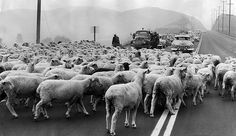 (1955)**^# - With the help of policemen, sheep are moved across Ventura Blvd., in Woodland Hills.  Source: LA Times
