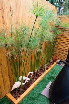 Cyperus papyrus-the-horticult-RMB_3682