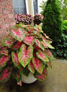 Mary Wharton Caladiums For Color In The Shade