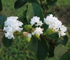 Acoma Crepe Myrtle - Red Leaf Varieties - Willis Orchard Company