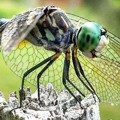Dragonfly: Dragonfly