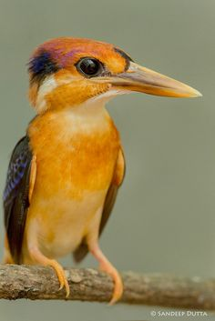 Oriental Dwarf Kingfisher by Sandeep Dutta