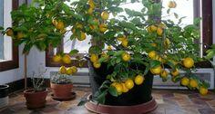 Cómo hacer crecer un árbol de limón desde la semilla en casa - Mejor Con Salud