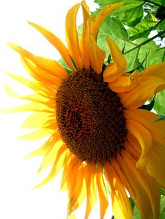Google Image Result for http://images.fineartamerica.com/images-medium-large/sunflower-angle-jon-baldwin-art.jpg