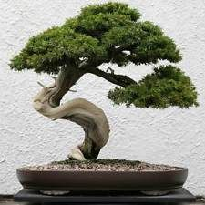 Common Juniper - Juniperus communis (20 Bonsai Seeds)